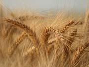 на фото зерно вирощене з допомогою мінеральних, азотних, комплексних добрив від компанії Агрохімоіл в Україні
