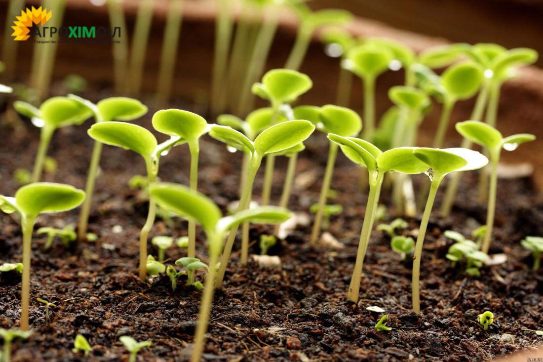 на фото ростки для яких використовувались азотні добрива від компанії Агрохімоіл