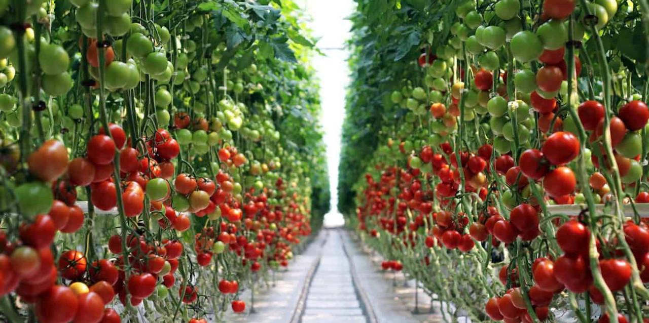 на фото овочі удобрені калійними добривами від компанії Агрохімоіл