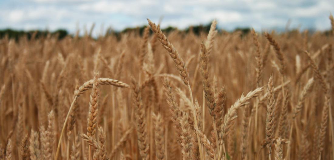 на фото пшениця удобрена мінеральним добривом сірка гранульована від Агрохімоіл
